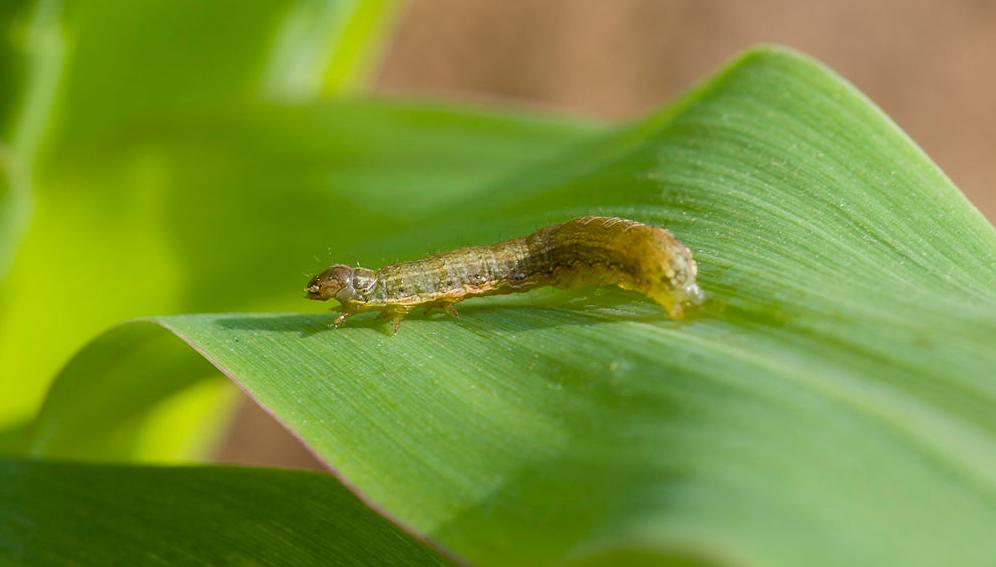 Louga : Des hectares de cultures dévorés par des chenilles