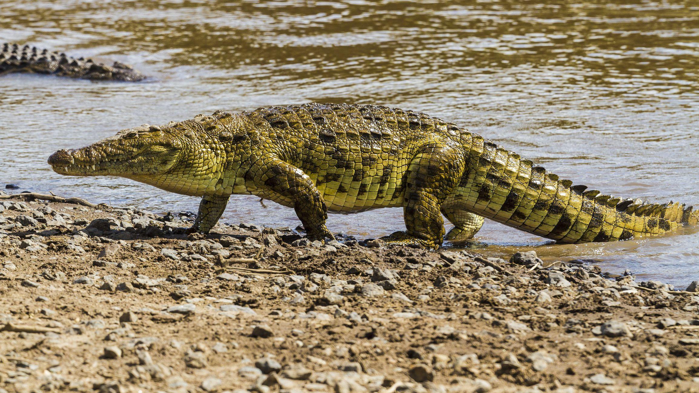 Guinée-Bissau: des crocodiles envahissent la capitale après des inondations