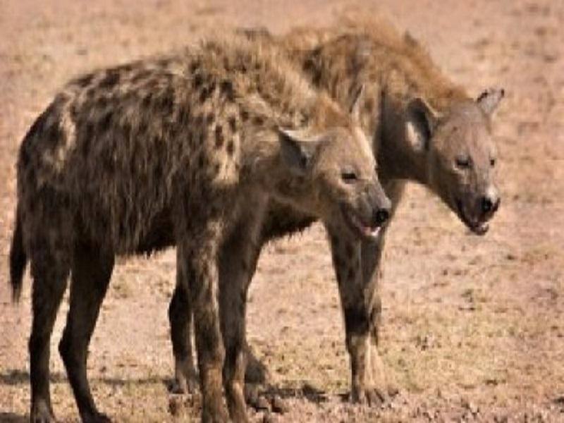 Saraya : des hyènes exhument des dépouilles