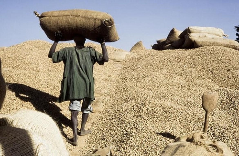 Arachide: des producteurs contestent les 1.800.000 tonnes du ministre de l'Agriculture, Dr Moussa Baldé