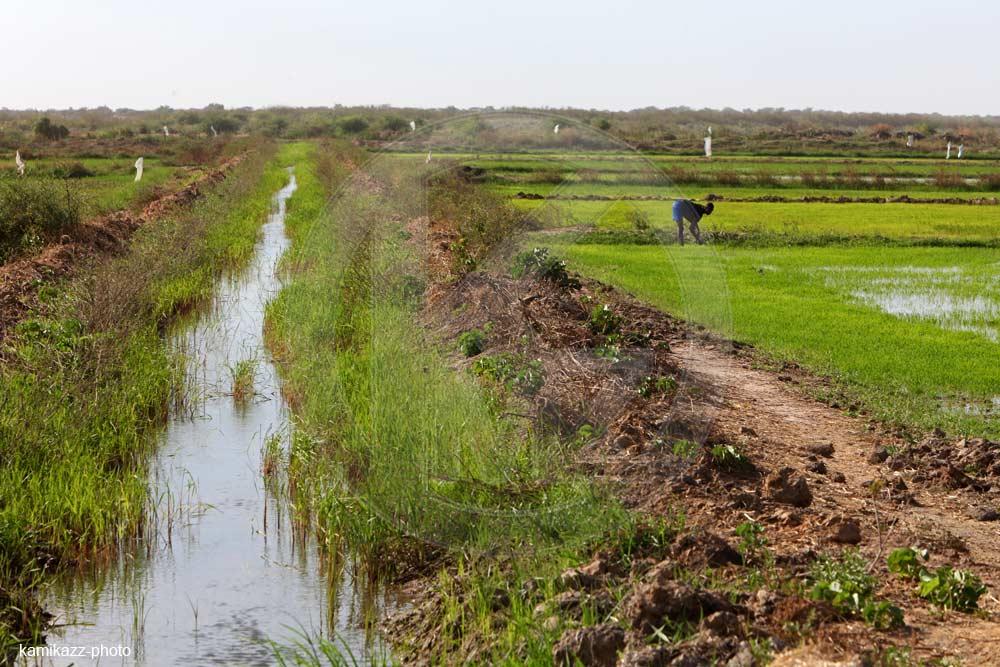Autosuffisance alimentaire : Le Sénégal dispose de 240 000 ha de terres irrigables dont la mise en valeur permettrait  l'atteinte de l'objectif