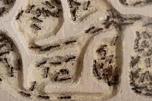AFP/AFP/Archives - Une nouvelle espèce de fourmi, qui capture certaines de ses cousines pour les réduire en esclavage en usant de techniques d'infiltration dignes des ninjas, a été récemment identifiée dans l'est des Etats-Unis par des biologistes allemands