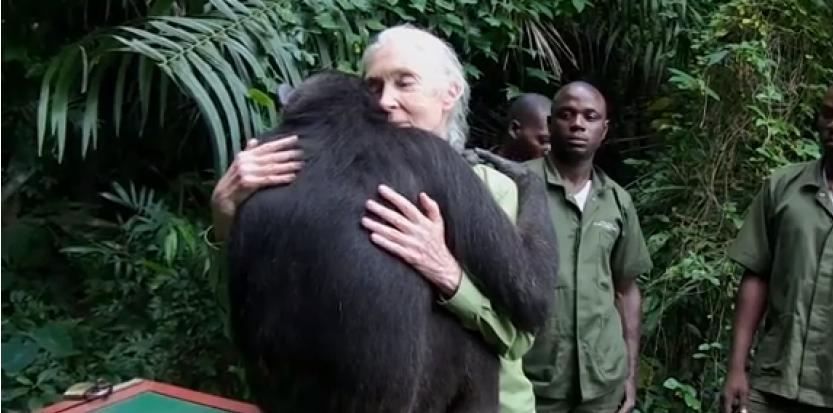 L'émouvant câlin d'une chimpanzée à son sauveur