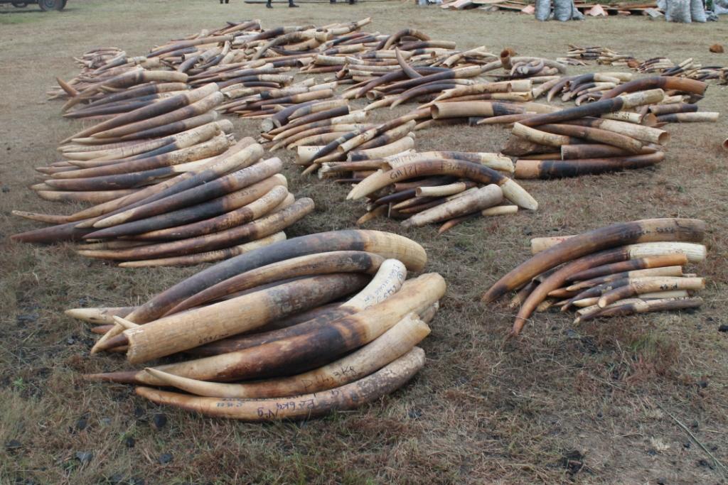France: trois tonnes d'ivoire de contrebande broyées sous les yeux des Parisiens