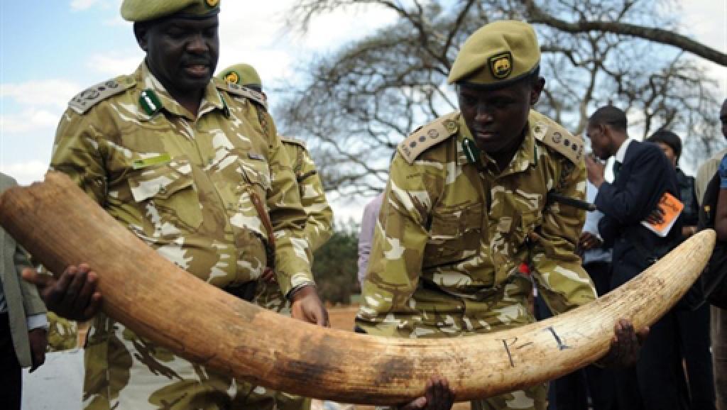 Saisie d'une cargaison d'ivoire de contrebande au Kenya, en septembre 2009. AFP/ Simon Maina