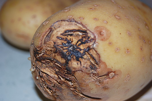 Risque d'arrêt de la production de pommes de terre dans les Niayes : les maraichers réclament l'arrêt des importations