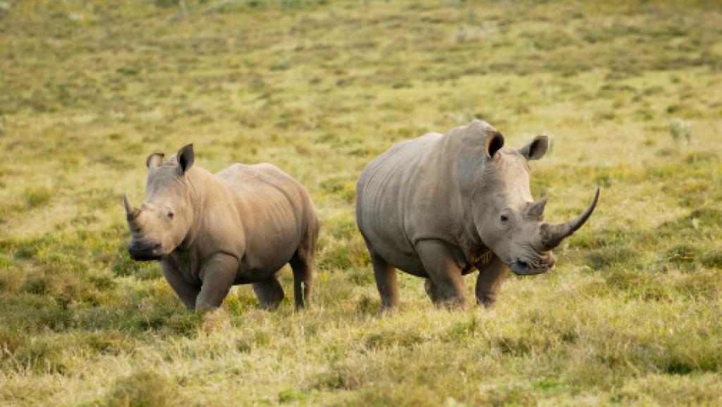 Selon les chiffres officiels, 18 rhinocéros et 51 éléphants ont été tués depuis le début de l'année. Des chiffres probablement en deçà de la réalité.