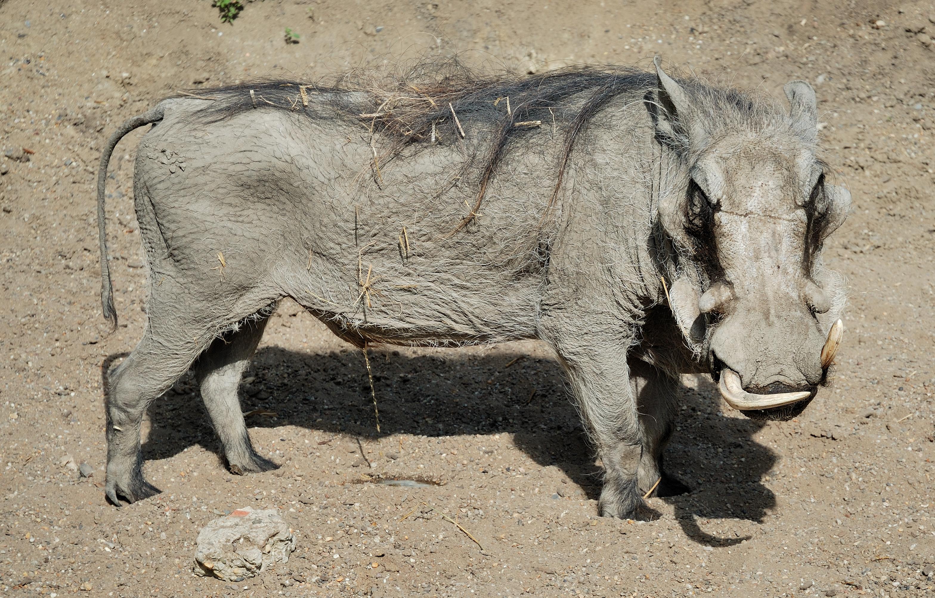 Appel à l'aide des paysans de Richard-Toll: les phacochères dévorent tout sur leurs passages