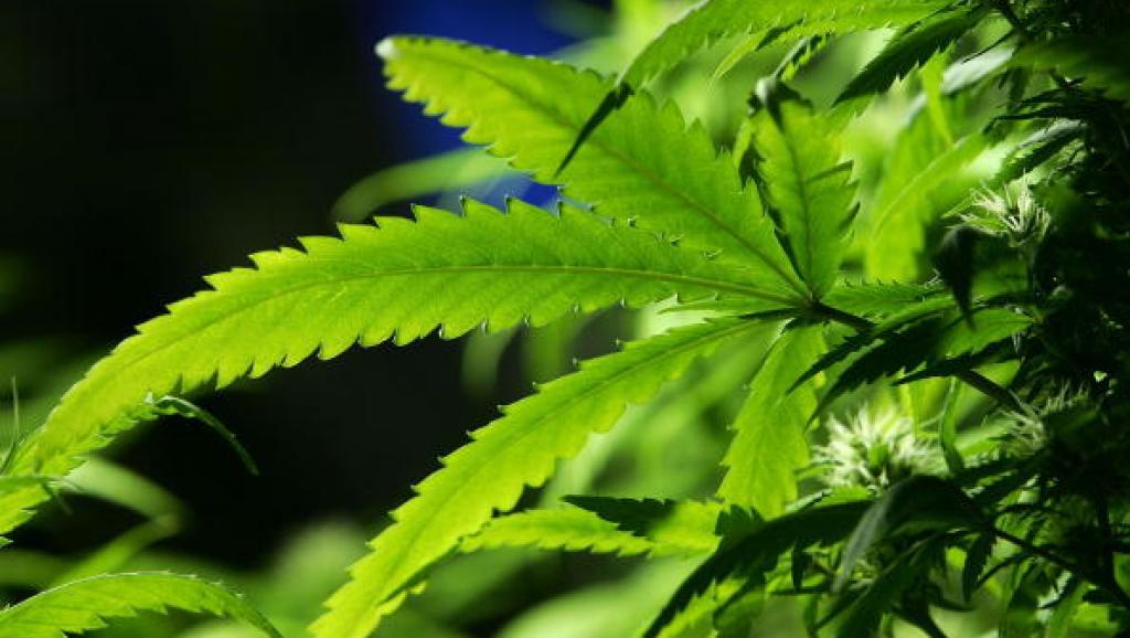 Uruguay: Le cannabis en vente libre  dès la fin de l'année
