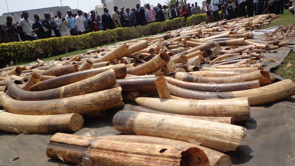Stock d'ivoire saisi au port autonome de Lomé, le 4 février 2014. AFP/Emilie Kouton