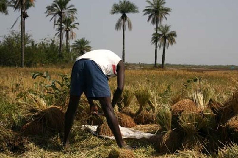 Jeunes agriculteurs-Abondance en riz: Pourquoi l'espoir est permis ?