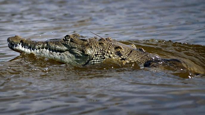 """Le crocodile """"Pancho"""" capturé en Floride au grand désespoir des riverains"""