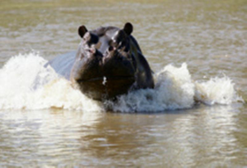 Afrique du Sud: une camionnette écrase dix villageois qui dépeçaient un hippopotame