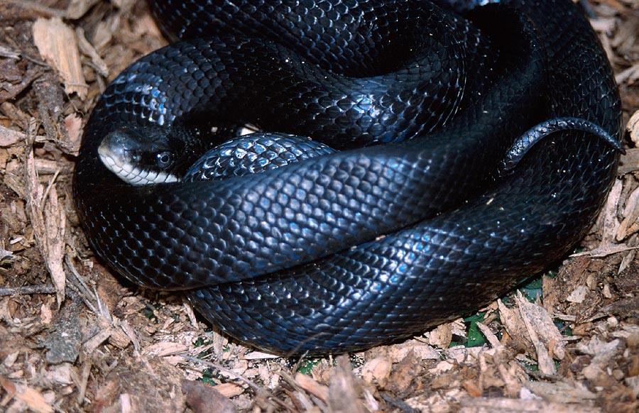Un serpent crée la panique à Nyassia : Deux morts en l'espace de 24 heures