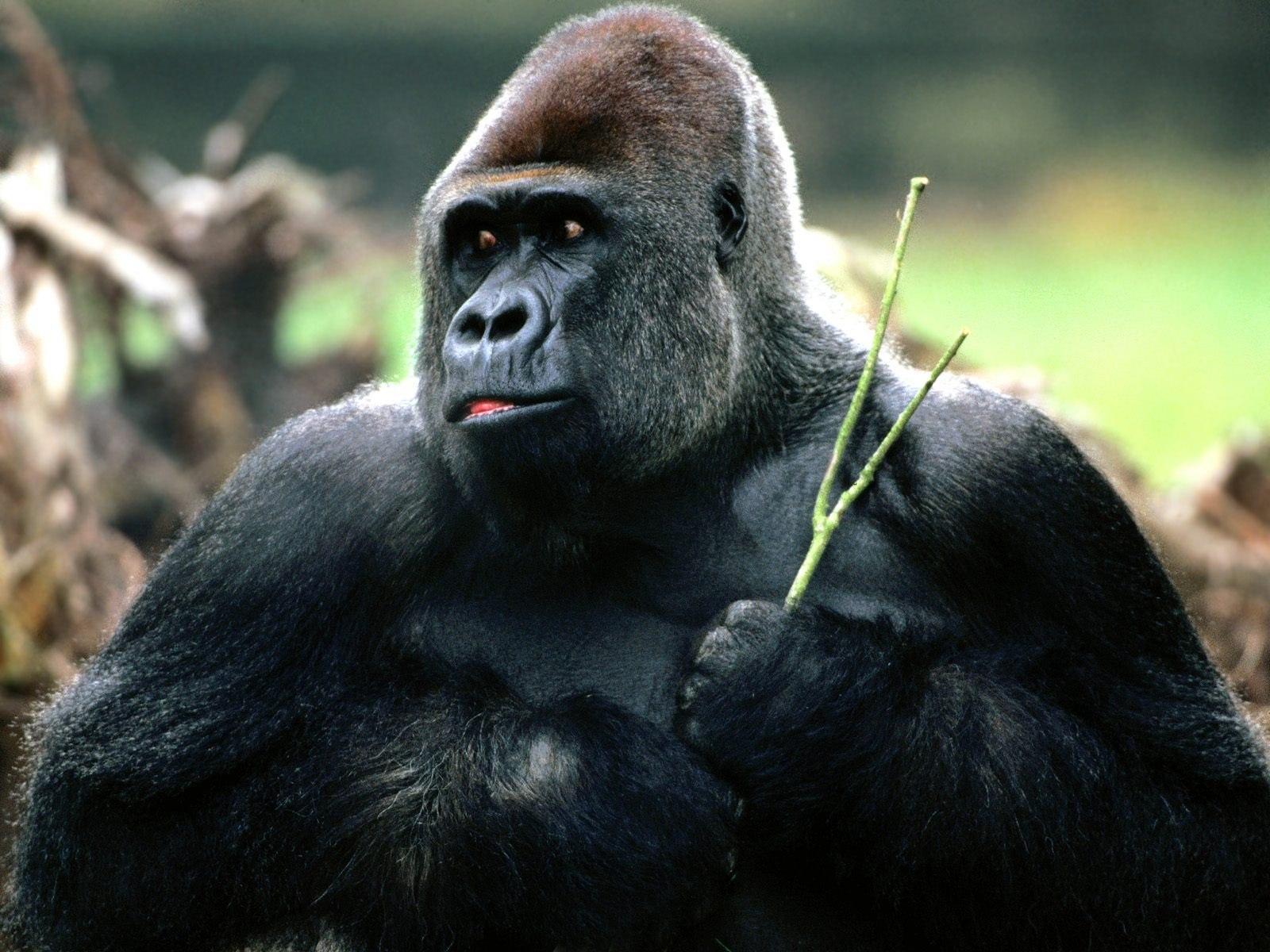 Insolite : Un gorille s'échappe du parc Hann et crée la panique