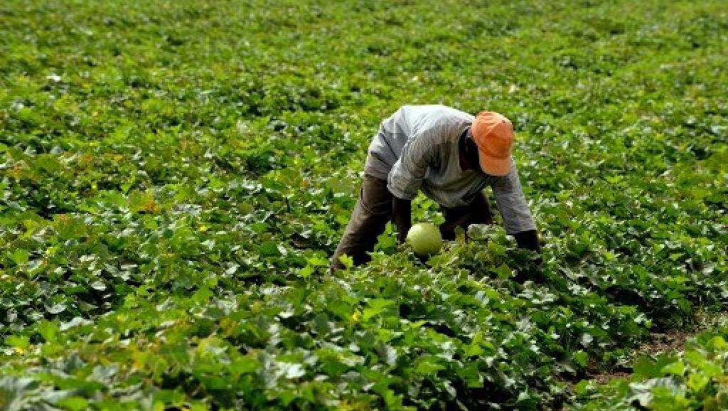 Un paysan sénégalais travaille dans un champ de melons à Djilakh (sud de Dakar) dans le cadre du programme Goana (Grande offensive pour la nourriture et l'abondance). AFP PHOTO / GEORGES GOBET