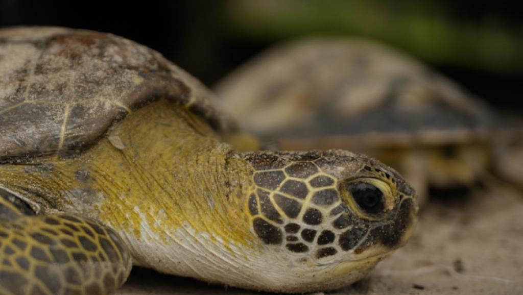 Photo d'illustration. La tortue étoilée est une espèce classée en danger critique d'extinction. © RFI/Igor Strauss