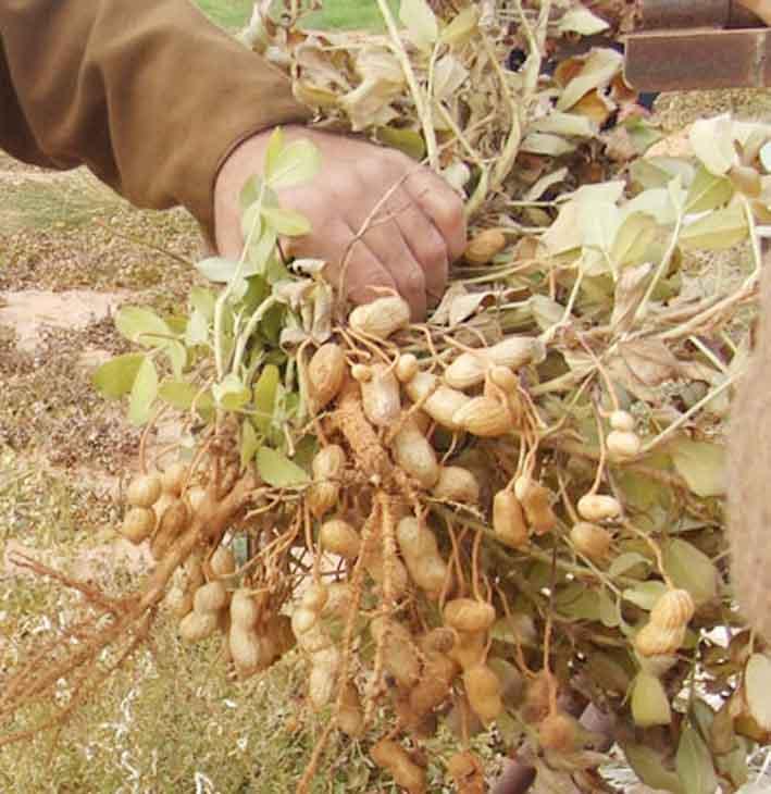 Campagne de commercialisation de l'arachide : une procédure à la traine, l'État réagit