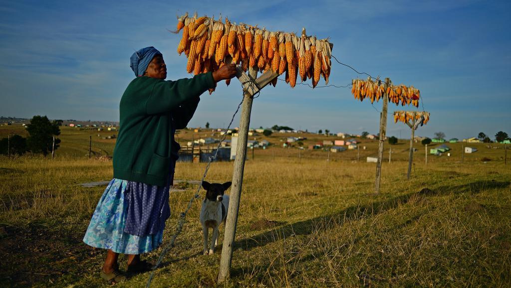 Comme ici, dans la région de Qunu, la nouvelle loi va permettre de garantir la sécurité alimentaire et palier l'injustice foncière de colonialisme et d'apartheid. AFP PHOTO/Carl de Souza