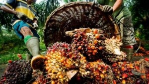 Côte d'Ivoire : Promouvoir le palmier pour une meilleure production