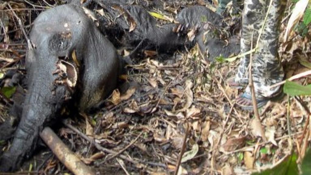 Braconnage pour l'ivoire.Cadavre d'un éléphant dans un parc du Gabon. AFP
