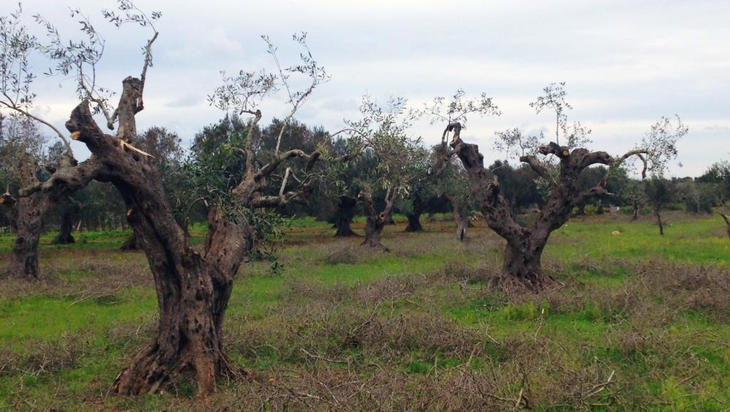 Une bactérie tueuse d'oliviers menace la Corse