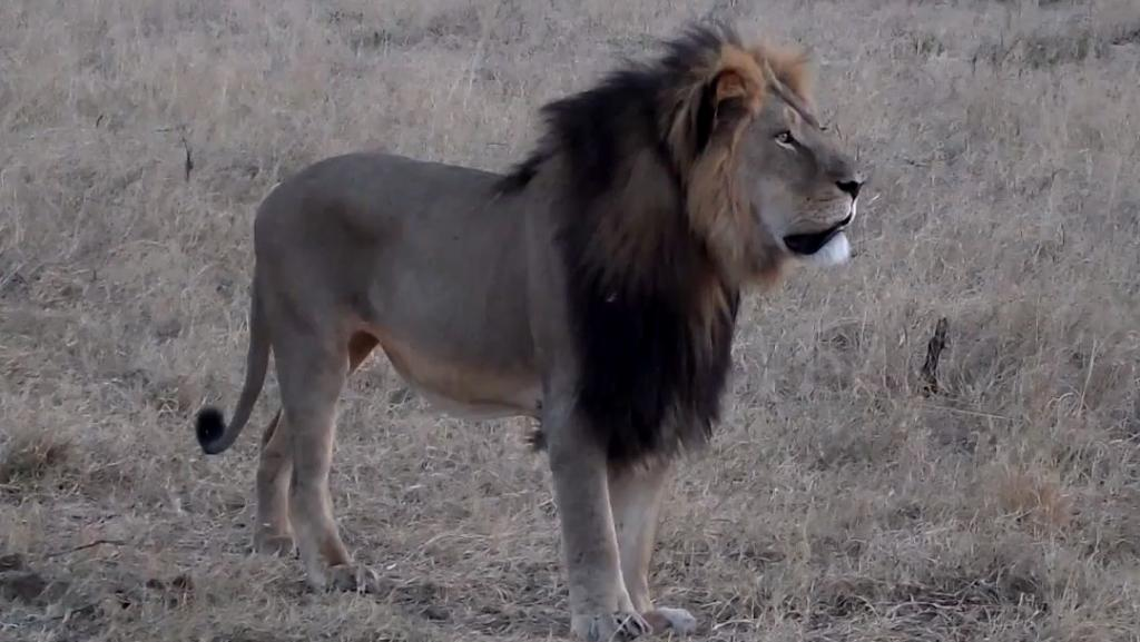 Zimbabwe: l'homme qui a abattu le célèbre lion Cecil est un Américain