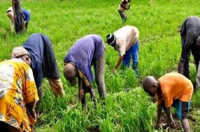 Riz de la vallée : 92 % de la production déjà récoltées
