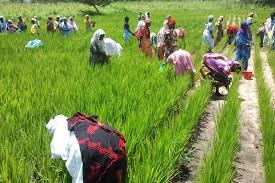 Campagne agricole 2015 : Le gouvernement présage de bonnes récoltes