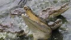 Alerte à Bignona: un groupe de crocodiles sème la terreur au barrage d'Afignam