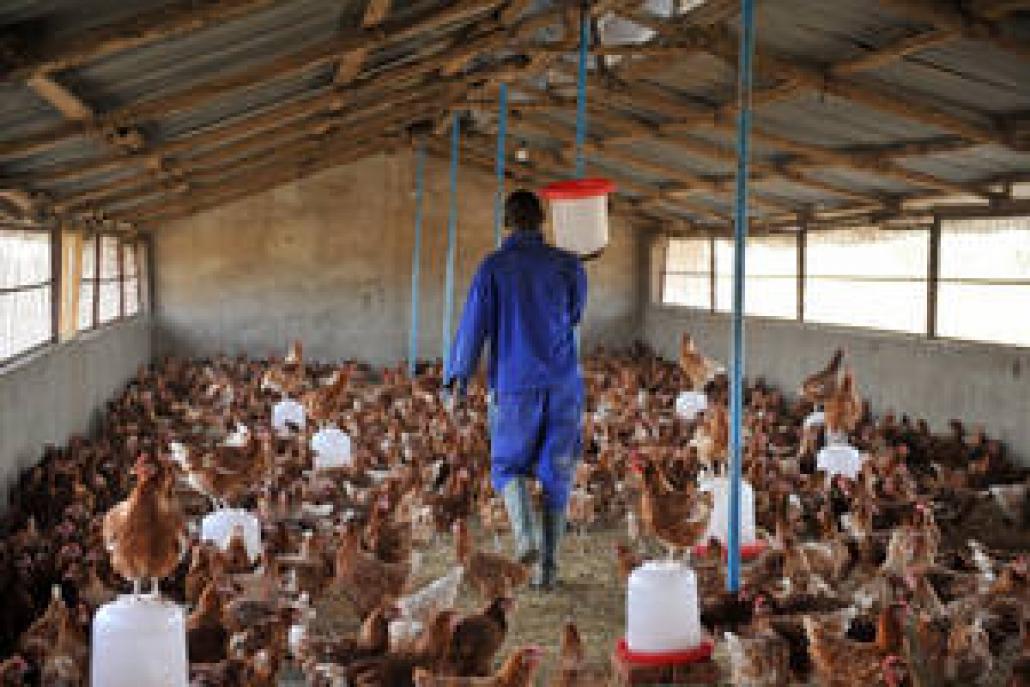 Volaille: la grippe aviaire détectée à Yaoundé