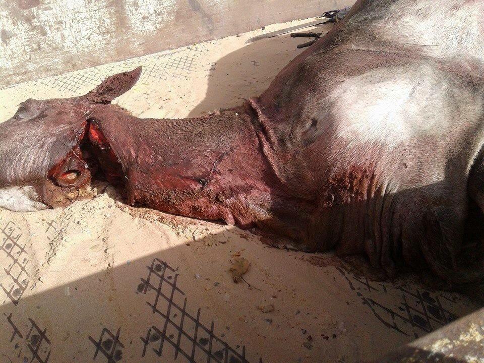 Urgent - Après l'âne, le cheval: Des gens pris en flagrant délit, Gendarmerie de Hann envahie