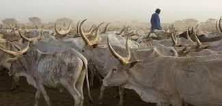 Sédhiou: prés de 1.064 bœufs volés dans le Balantacounda