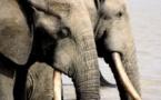Le trafic d'ivoire au Gabon au menu de la Cites en Afrique du Sud