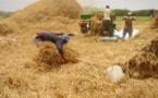Autosuffisance en riz : La vallée du fleuve assure 33% de la production