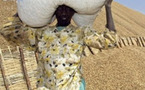 Prix du kg de l'arachide à 165 francs : les paysans vont battre le macadam