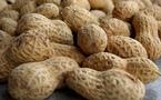 Non démarrage de la commercialisation : l'avenir de l'arachide hypothéqué