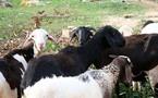 Sédhiou : Des cultivateurs vendent leur bétail pour couvrir les frais alimentaires du ramadan