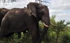 Afrique du Sud: des tests de tuberculose menés sur des éléphants