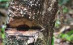 Le pillage du bois de rose ghanéen par la Chine