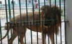 Parc Hann : Voici la vidéo de l'employé qui a été mordu par un Lion