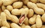 Fixation prix d'achat de l'arachide: les organisations de producteurs de la graine oléagineuse se dressent contre le Cnia