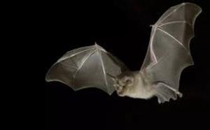 La chauve-souris au cœur des recherches sur le coronavirus au Zimbabwe