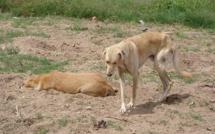 Dagana: les chiens sèment la terreur, deux enfants mordus ce week-end