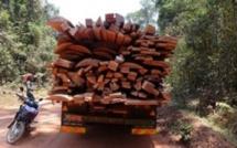 Casamance: comment l'interdiction de la coupe de bois favorise la culture du chanvre Indien et le renforcement du Mfdc