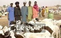 A cause de l'impunité, les voleurs de bétail ne se cachent plus à Sédhiou