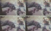 Pikine : Un talibé de 15 ans dévoré par un pitbull