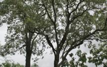 RDC: l'exploitation du bois de rose a-t-elle repris?