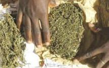 Région de Matam: près de 100 kg de chanvre indien saisis à Semmé