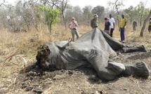 Au Cameroun, les massacres d'éléphants continuent